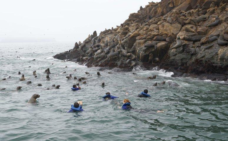 Viajeros nadando con lobos al lado isla