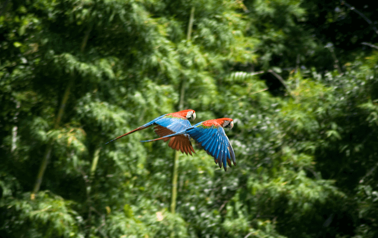 Two parrots flying in amazon